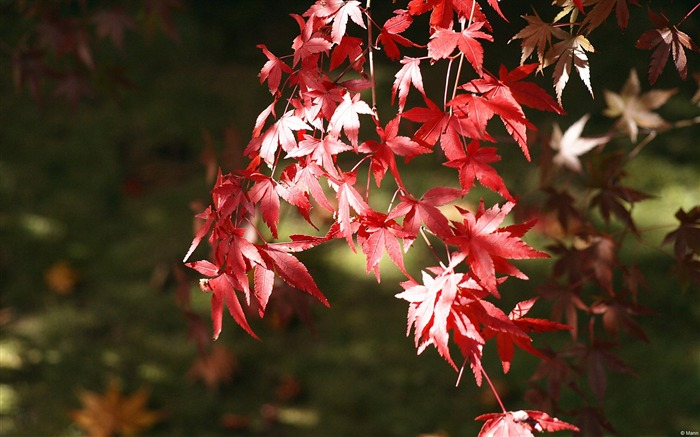 Red Japanese maple-November 2015 Bing Wallpaper Views:1658