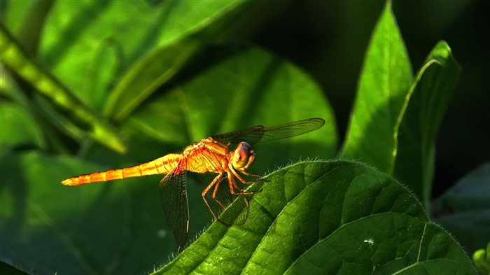 Summer animal dragonfly desktop wallpaper Views:4293