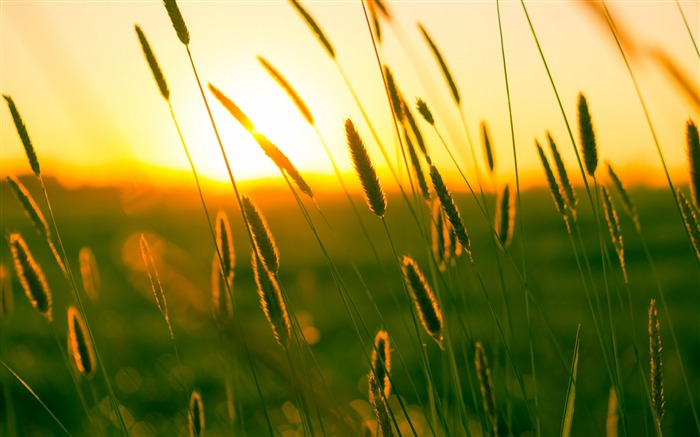 Summer feeling grass sunset-Earth Photo HD Wallpaper Views:4803