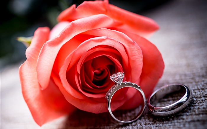 wedding rings and rose flower-HD Desktop Wallpaper Views:906