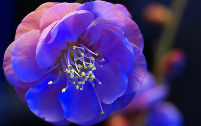 Blue Flower night blossom-Plant photography Wallpaper Views:2285