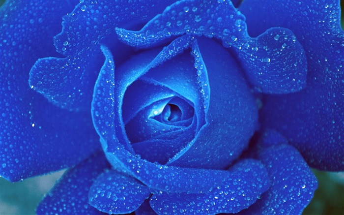 Blue Rose Drop Macro-Plant photography Wallpaper Views:2419