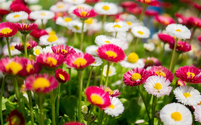 Colorful daisies flowers-Plant photography Wallpaper Views:2169