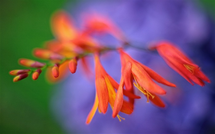 Crocosmia Flower Close up-Plant photography Wallpaper Views:2059