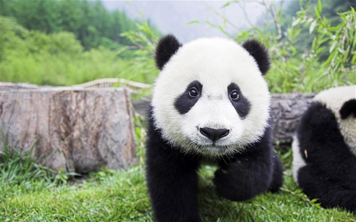 Cute Chinese panda photography HD wallpaper Views:16605