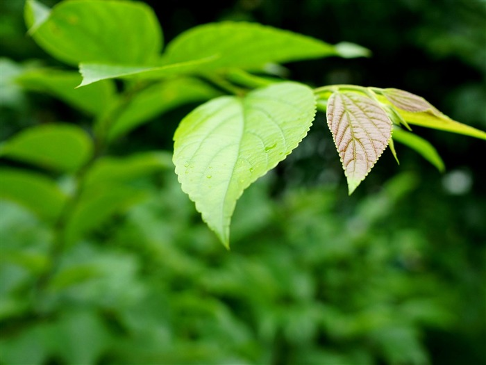 Fresh Green Leaves HD Plant Desktop Wallpaper 07 Views:1540