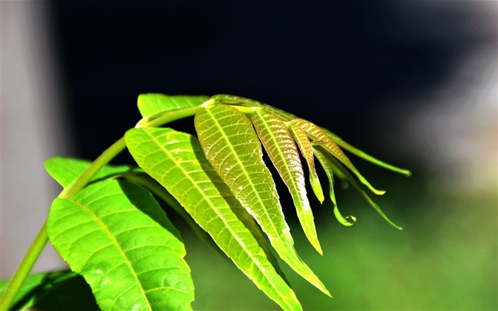 Fresh Green Leaves HD Plant Desktop Wallpaper 14 Views:1617