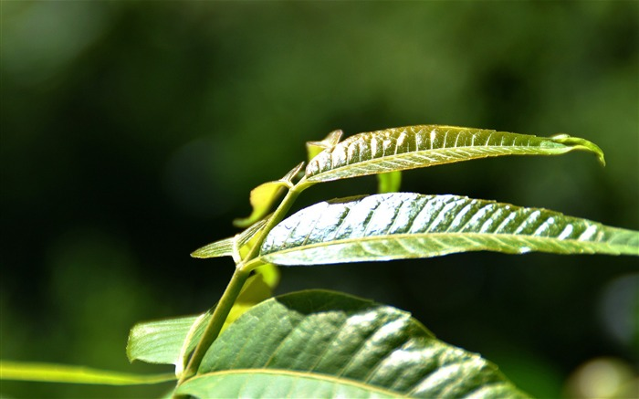 Fresh Green Leaves HD Plant Desktop Wallpaper 19 Views:736