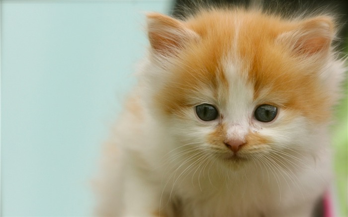 Kitten spotted look-Animal Photo HD Wallpaper Views:1696