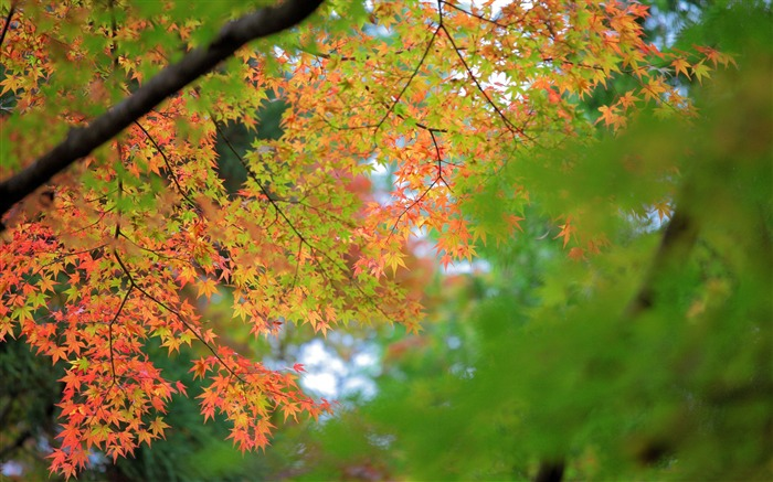 Maple Autumn Bokeh-High Quality HD Wallpaper Views:1673