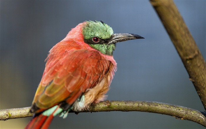 Perched bee eater-Animal Photo HD Wallpaper Views:1962