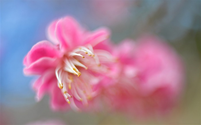 Pink blossom macro-Plant photography Wallpaper Views:2040