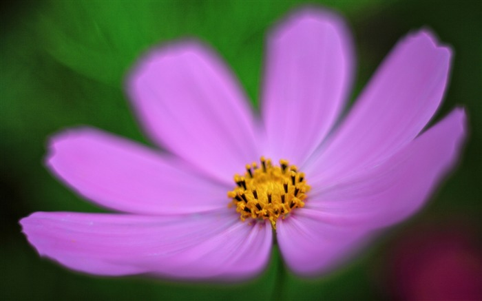 Pink cosmos flower-Plant photography Wallpaper Views:1445