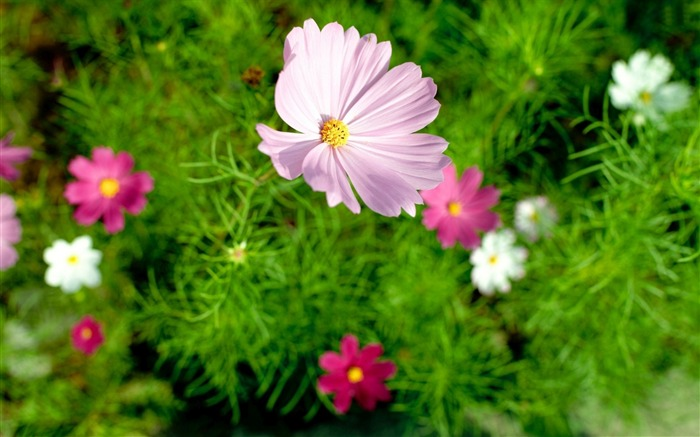Pink cosmos flowers-High Quality HD Wallpaper Views:1863
