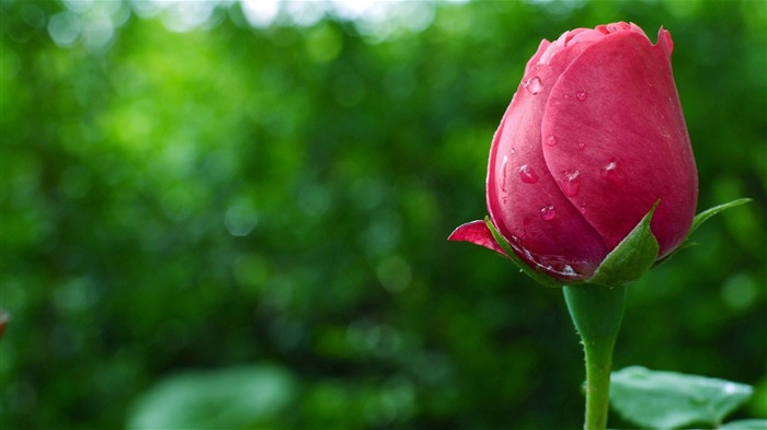 Pink rose bud-Plant photography Wallpaper Views:927