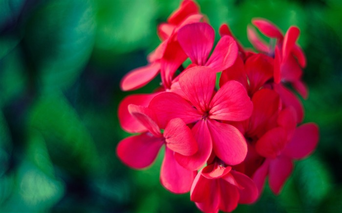 Red flowers bokeh-Plant photography Wallpaper Views:2225