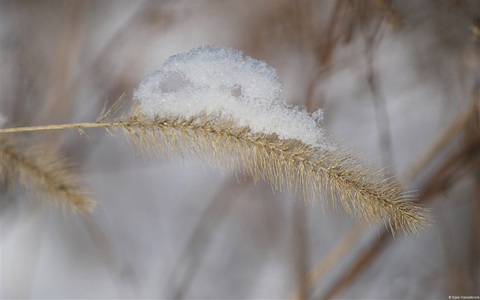 Snow-covered golden wheat-Windows 10 HD Wallpaper Views:2291