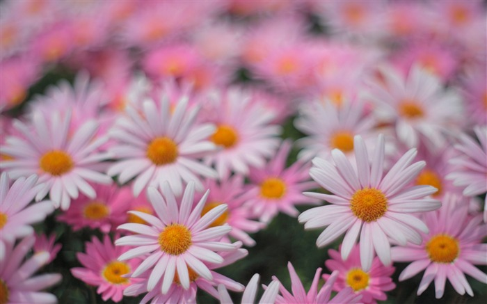 White pink daisies-Plant photography Wallpaper Views:1254