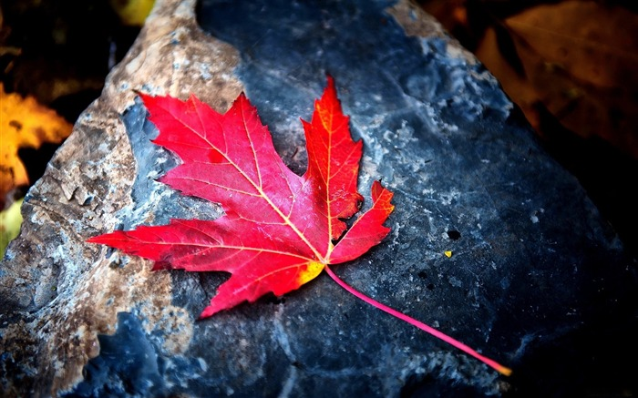 Autumn red leaf stone-photography HD wallpaper Views:2311