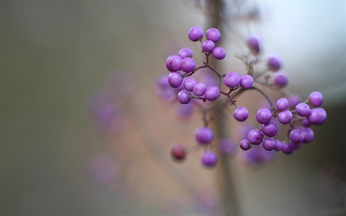 Callicarpa berry lilac macro-photography HD wallpaper Views:1913