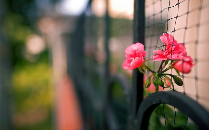 Close-up fence flowers-photography HD wallpaper Views:2010