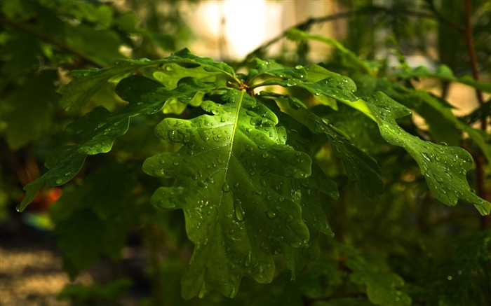 Drops forest nature leaves-photography HD wallpaper Views:2066