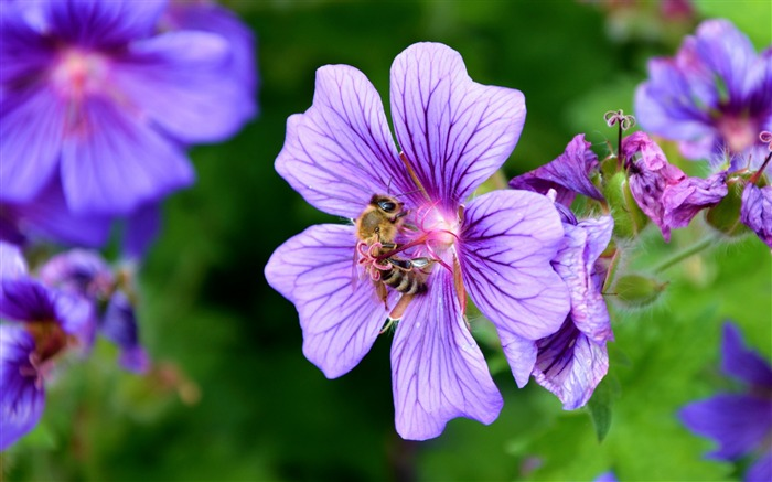 Flower nectar pollen bee-High Quality HD Wallpaper Views:1785