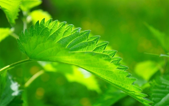 Green nettle leaf close up-High Quality HD Wallpaper Views:1066