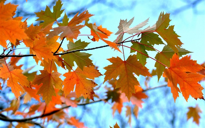 Maple Leaves Branches-High Quality HD Wallpaper Views:1351