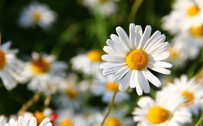 Daisies flowers field blurriness-High Quality HD Wallpaper Views:1962