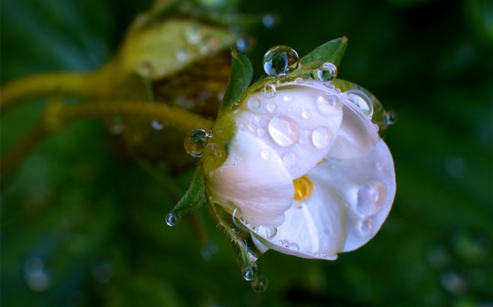 Drops white flower-Macro HD Wallpaper Views:2777 Date:2/26/2016 8:02:49 AM