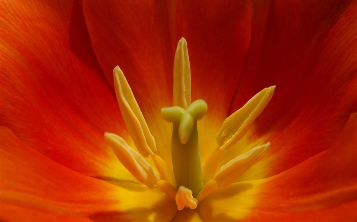 Flower tulip red yellow-Macro HD Wallpaper Views:3218 Date:2/26/2016 8:06:25 AM