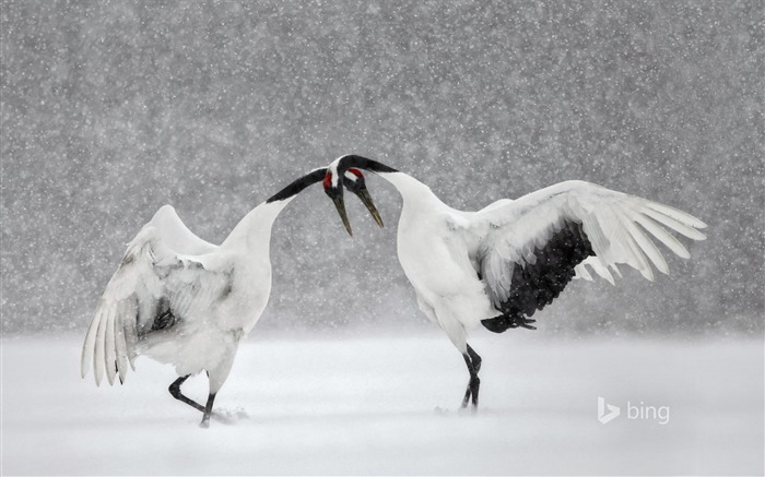 Red crowned cranes dance in Hokkaido Japan-2016 Bing Desktop Wallpaper Views:2239