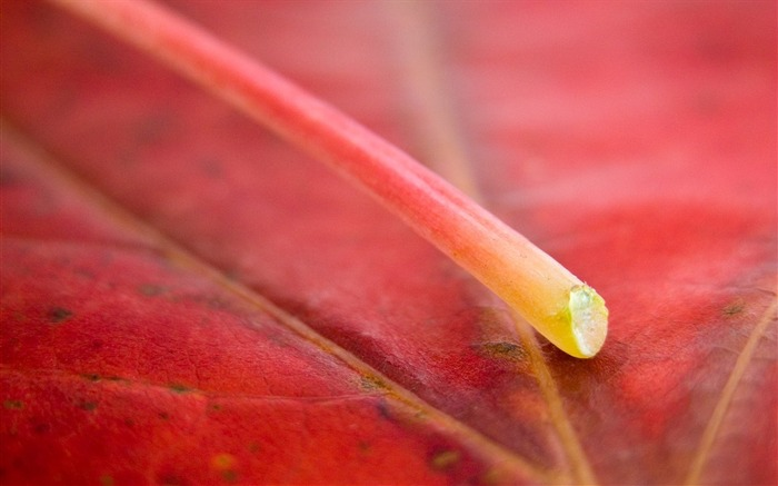 Red leaf veins-Macro HD Wallpaper Views:2834 Date:2/26/2016 8:11:43 AM