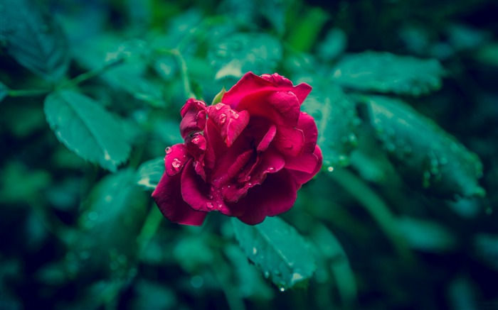 Red rose and green leaves-Flowers Photo HD Wallpaper Views:2059