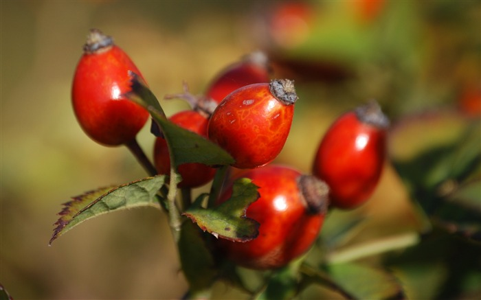 Rosehip fruits berries-High Quality HD Wallpaper Views:1163