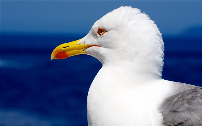 Seagull bird beak profile-High Quality HD Wallpaper Views:1083