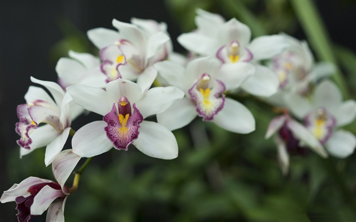 White orchid-Flowers Photo HD Wallpaper Views:1341