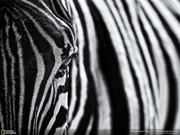 Zebra The look of nature-2015 National Geographic Wallpaper Views:1044