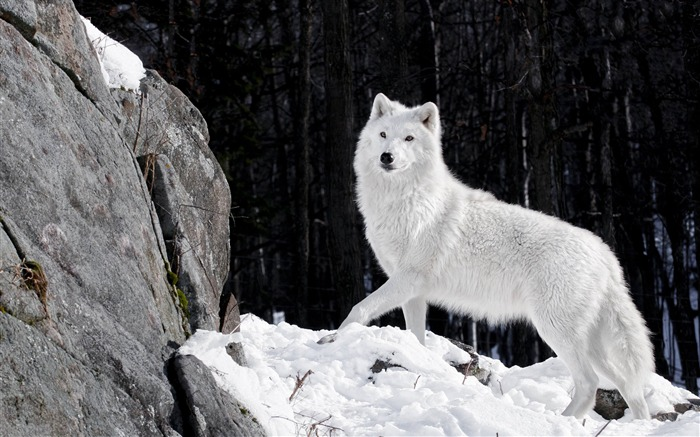 Beautiful Winter Forest White Wolf-Wild Animal HD Wallpaper Views:2097
