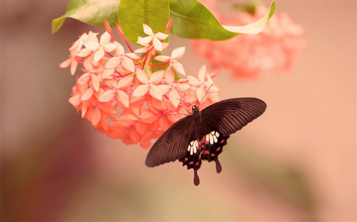 Butterfly on pink flower-High Quality Wallpaper Views:1917