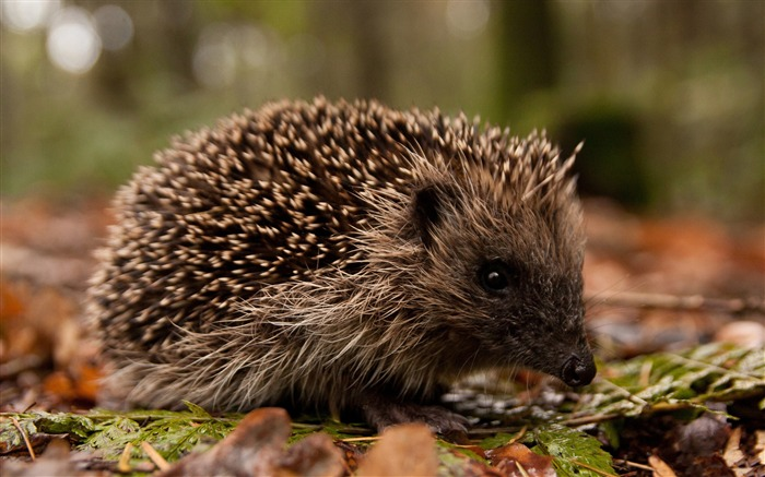 Hedgehog in the forest-Wild Animal HD Wallpaper Views:1733