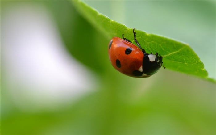 Ladybug insect leaf blur-High Quality HD Wallpaper Views:1784