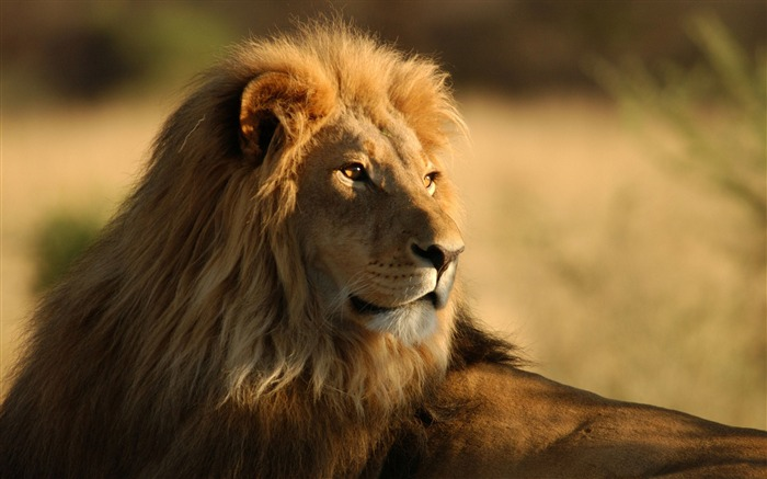Lion in the outdoor-Wild Animal HD Wallpaper Views:1943