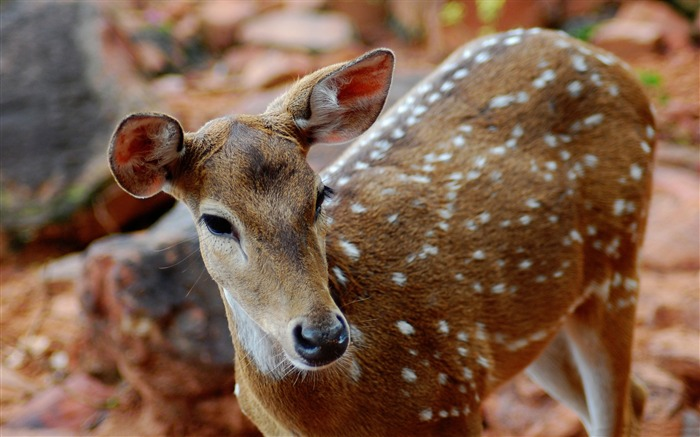 Spotted Deer Animal India-Wild Animal HD Wallpaper Views:1318