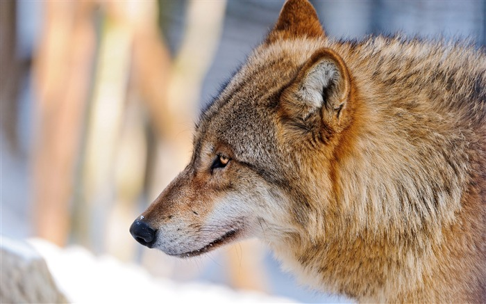 Wolf Profile Photography-Wild Animal HD Wallpaper Views:1230