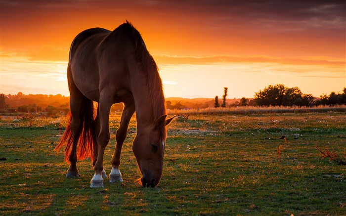 Horse field pasture sunset-Grassland animal HD Wallpaper Views:1920