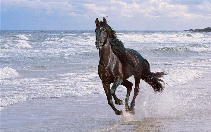 Horse running spray beach jump-Grassland animal HD Wallpaper Views:1460