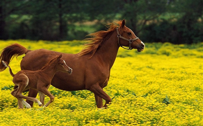 Horse stallion family jumping-Grassland animal HD Wallpaper Views:1903