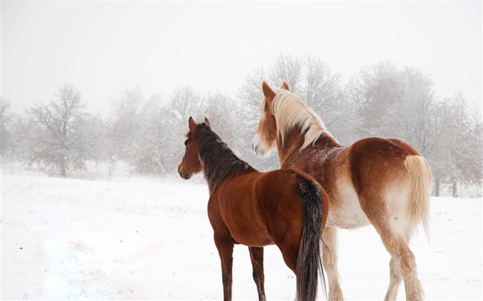 Horse winter snow couple-Grassland animal HD Wallpaper Views:1234